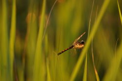 orange and black dragonfly rests on green marsh grasses