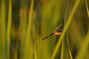 orange and black dragonfly rests on green marsh grasses