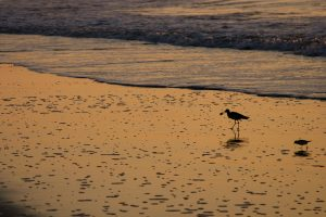 shorebird captures a crab in his beak at sunrise as a smaller bird searches for food