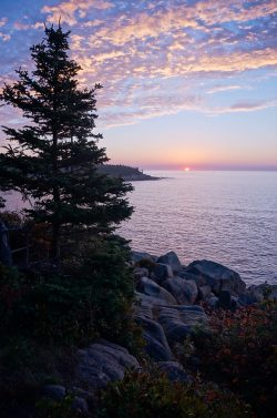 sun rising in Acadia National park over the water beyond a pine tree and rocky shoreline