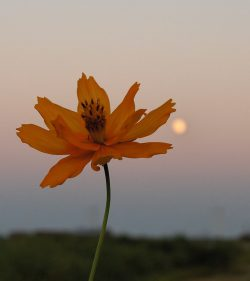orange flower against a moon rising at sunset