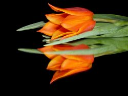orange tulip on a black reflective surface