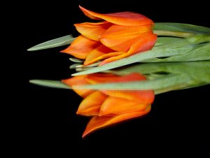 orange tulip on a black reflective surface